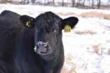 bred heifer 17
