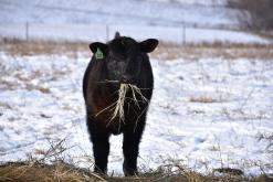 calf at hay 17