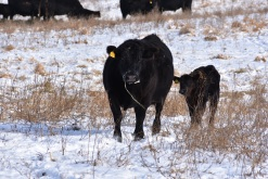 cow and fall calf 17