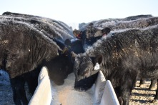 heifers at bunk 17